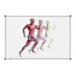Whiteboard hardlop.anatomieman 90x120 cm