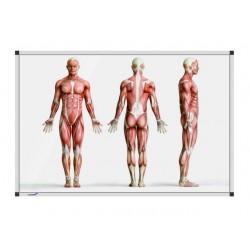 Whiteboard staande anatomieman 100x200cm